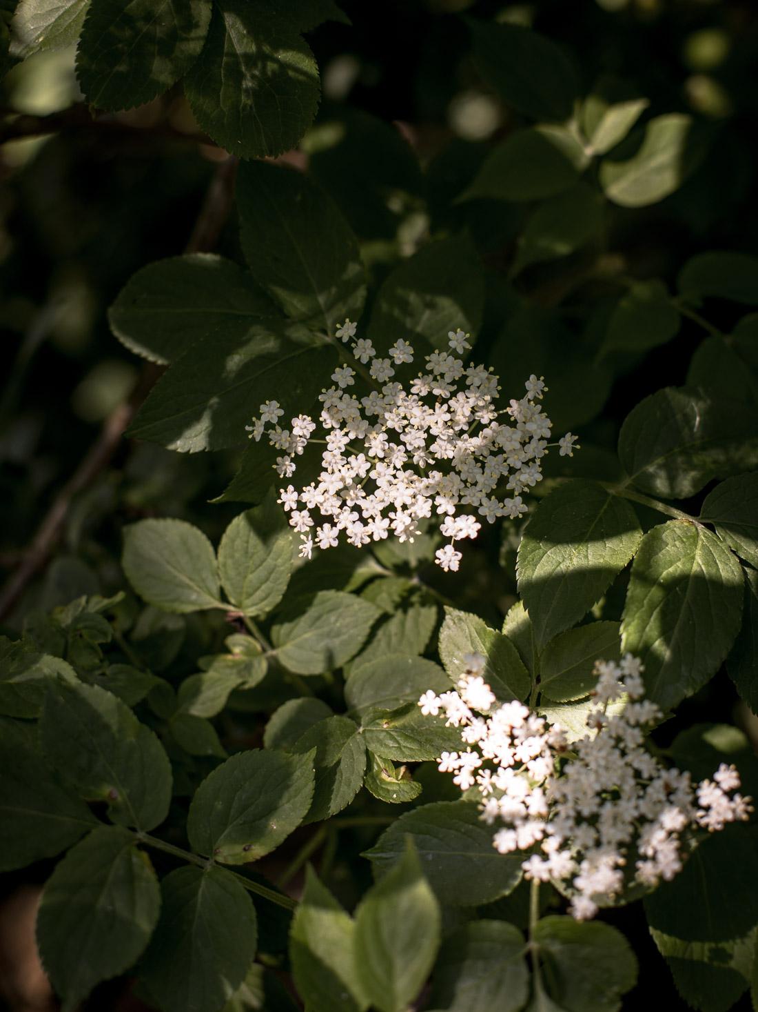Elderflower Cordial Recipe